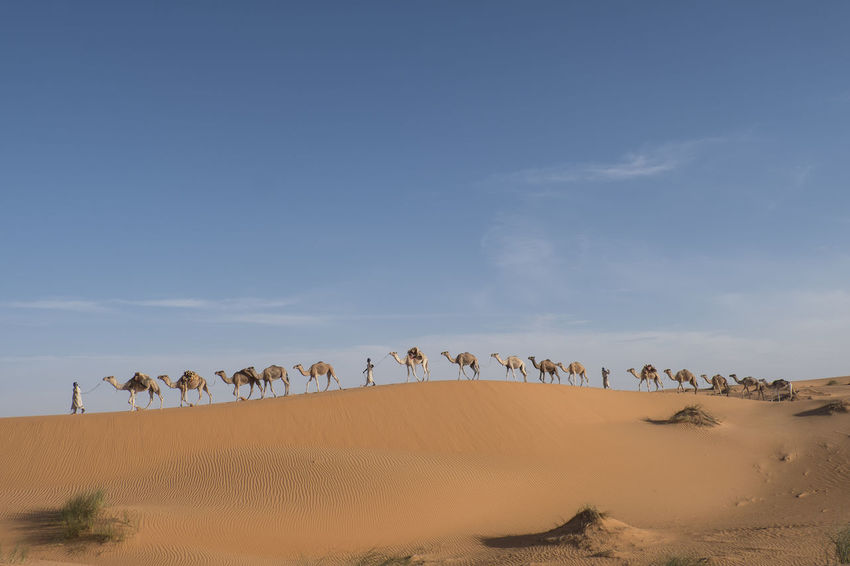 Camel Caravan is crossing the Sahara desert in soft afternoon light Sahara Desert Sand Dune Clear Blue Sky Afternoon Light Morocco Adventure Tourist Attraction  Travel Destination Desert Sky Sand Scenics - Nature Landscape Environment Beauty In Nature Nature Non-urban Scene Tranquility Arid Climate Remote Tranquil Scene Cloud - Sky Horizon Over Land Group Of Animals Camel Caravan