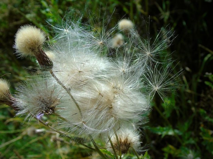 Asthmaweed Beauty In Nature Close-up Dandelion Dandelion Seed Day Erigeron Bonariensis Flower Flower Head Flowering Plant Focus On Foreground Fragility Freshness Growth Land Nature No People Outdoors Plant Softness Vulnerability