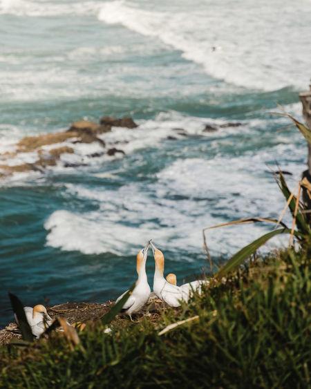Gannets on shore