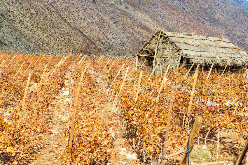 Grape vines used for making pisco in the Elqui Valley near Vicuna, Chile Agriculture America Cactus Chile Country Countryside Desert Elqui Farm Grape Grapes Landscape Nature Pisco Rural South South America Stable Valley Vicuña Vicuña, Chile Vineyard Vineyards  Wine Winery