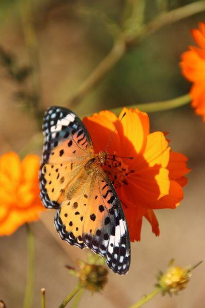 花はキバナコスモスだと思うんだけど、蝶はなんてーのかな。 花 キバナコスモス 蝶