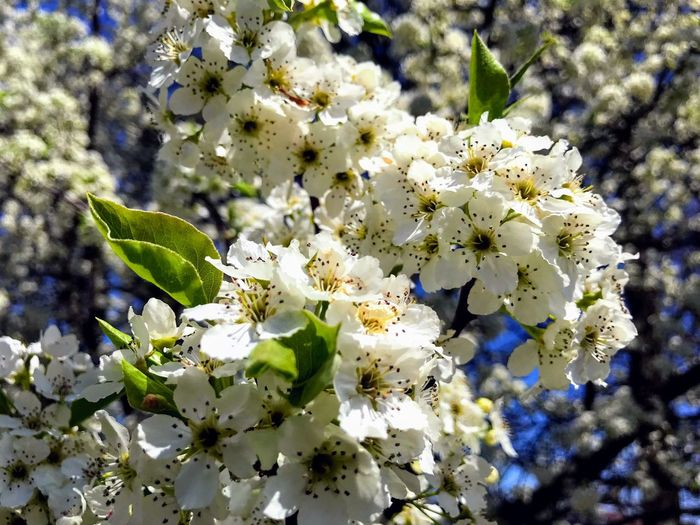 Flowers blooming on a tree in the springtime against a clear blue sky. Macro Plant Flowering Plant Growth Flower Fragility Vulnerability  Beauty In Nature Close-up Focus On Foreground Nature Blossom Petal Tree Outdoors