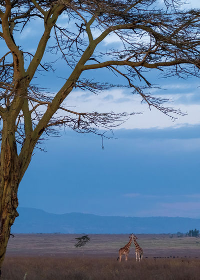 Distant view of giraffes standing on field against cloudy sky during sunset