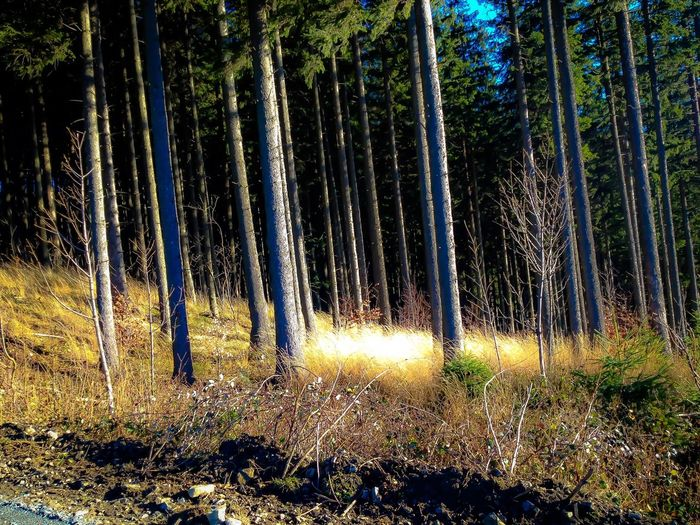Forest Tree WoodLand Sunlight Nature Beauty In Nature Day Tall - High Outdoors