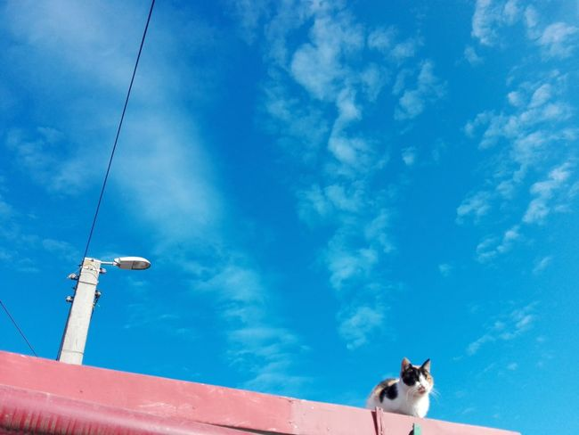 Calico Cat Uppon Sky Cat Uppon Blue Sky Rooftop Cat On Rooftop Ionita Veronica Photography Blue Sky Cat EyeEm Selects Blue Pets Sky Cloud - Sky