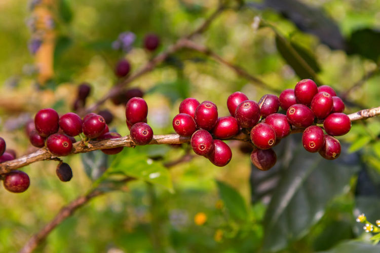 Close-up of coffee on plant