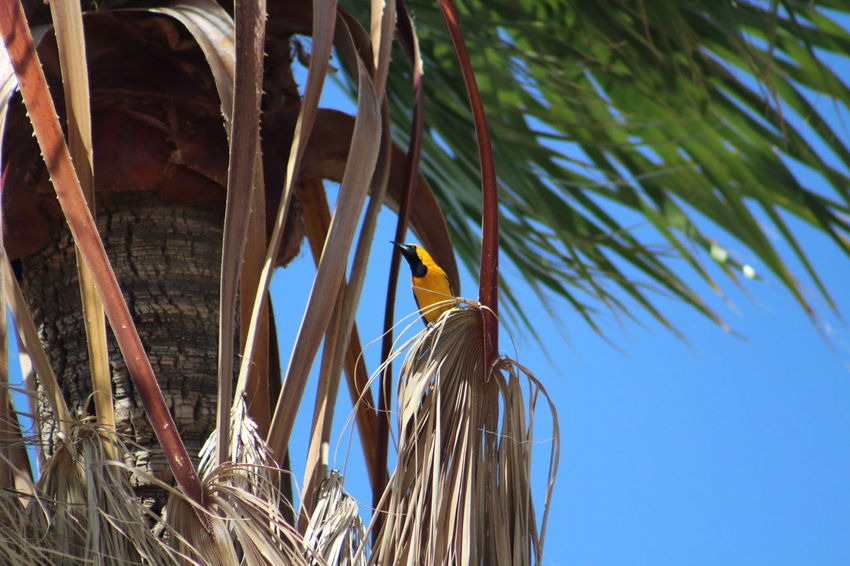 Hooded oriole in a palm tree. Bird Blue Close-up Day EyeEm Nature Lover Growth Hooded Oriole Low Angle View Nature No People Outdoors Palm Tree Plant Sky Sunny Tranquility