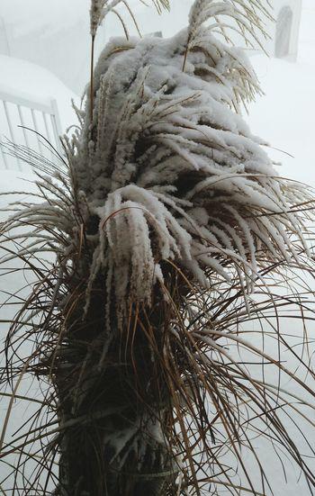 Graminées Winter Tempête De Neige ❄ Janvier 2018 Tree Nature Low Angle View No People Day Indoors  Close-up