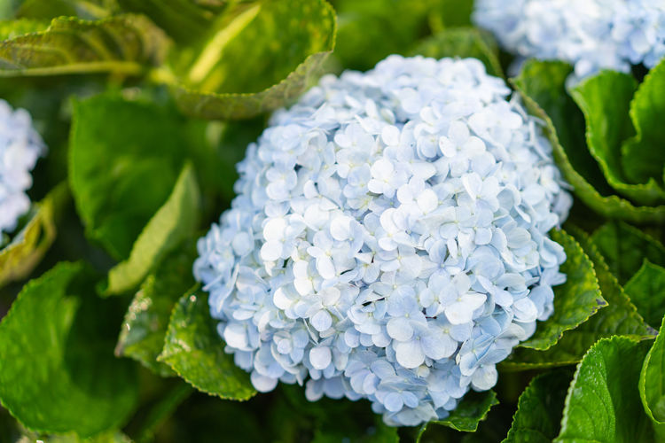 Hydrangea Flower Hydrangea In Bloom Hydrangea Bush Freshness Flower Plant Beauty In Nature Close-up Flowering Plant Leaf Plant Part Petal Hydrangea Flower Head Growth Vulnerability  Inflorescence Nature Fragility Day Green Color No People Focus On Foreground Outdoors Bunch Of Flowers Lilac
