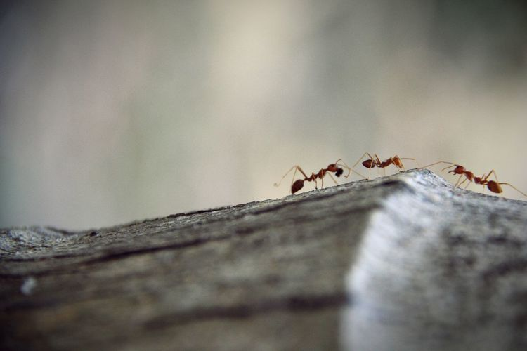 Close-Up Of Red Ants On Wood