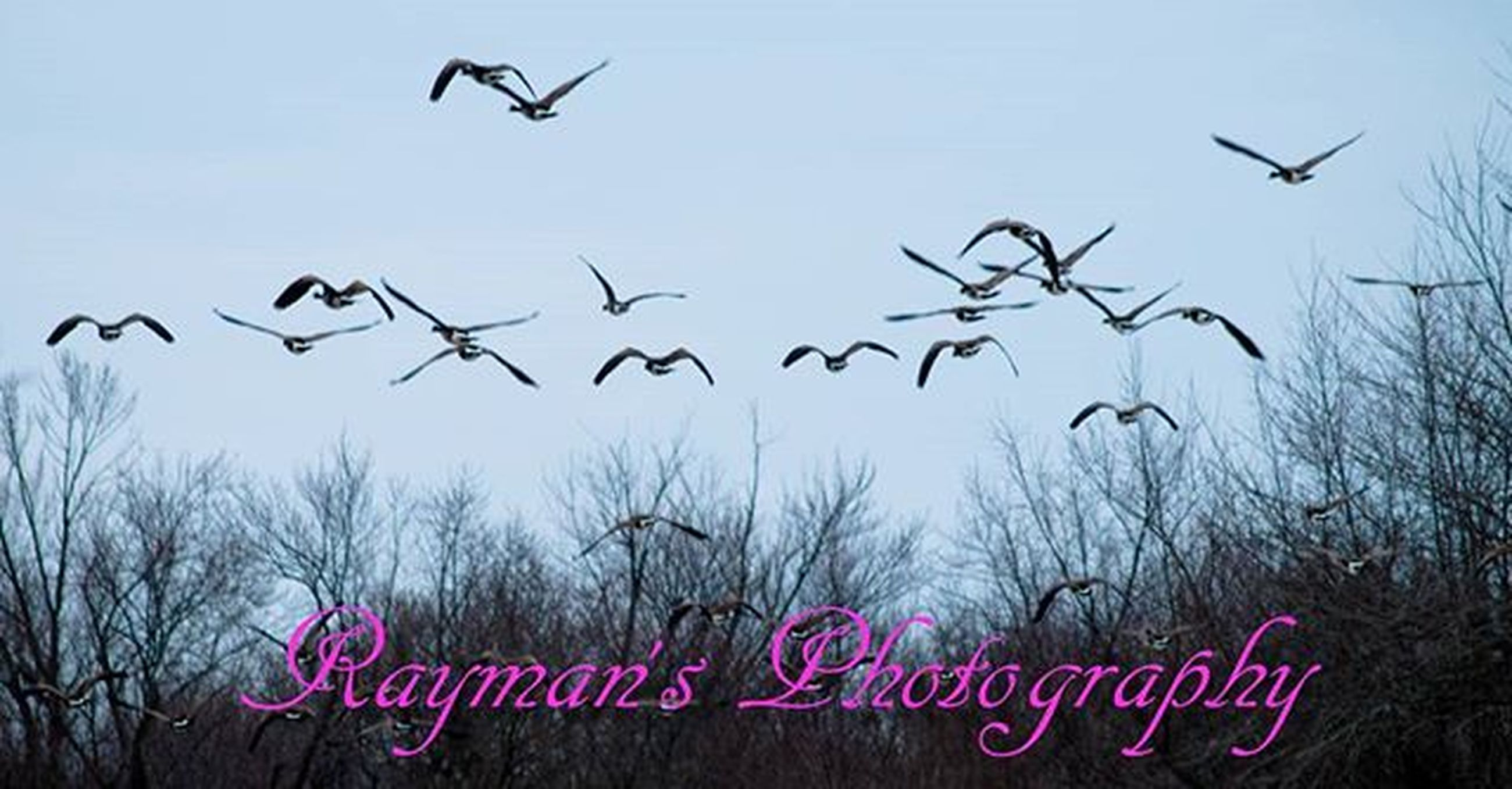 flying, bird, flock of birds, animal themes, animals in the wild, mid-air, wildlife, low angle view, sky, spread wings, clear sky, nature, outdoors, silhouette, beauty in nature, no people, day, tree, medium group of animals