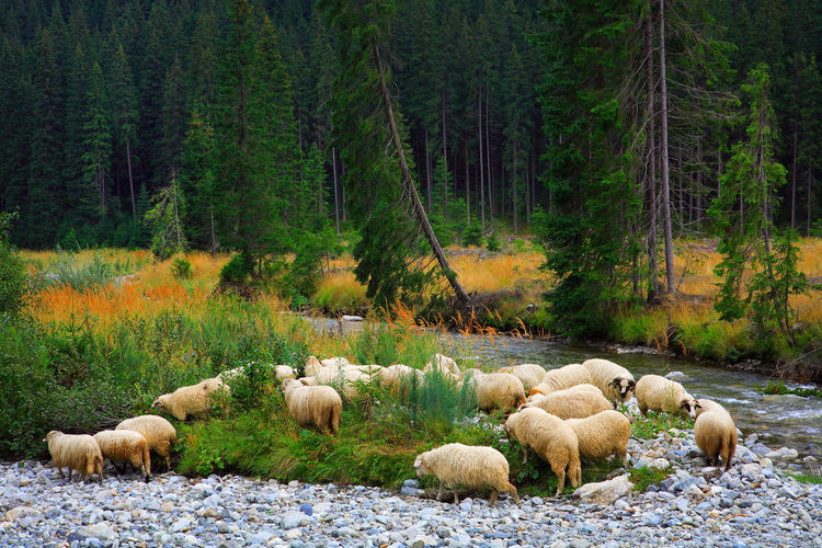 Flock of sheep by stream in forest