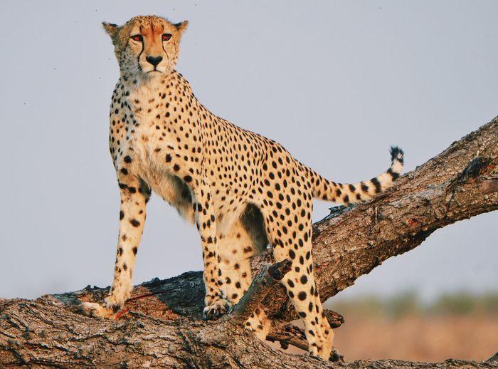 Animal Themes Animal Animal Wildlife Animals In The Wild Mammal Big Cat Feline No People Cheetah Outdoors One Animal Cat Safari Spotted Looking Animal Markings Nature