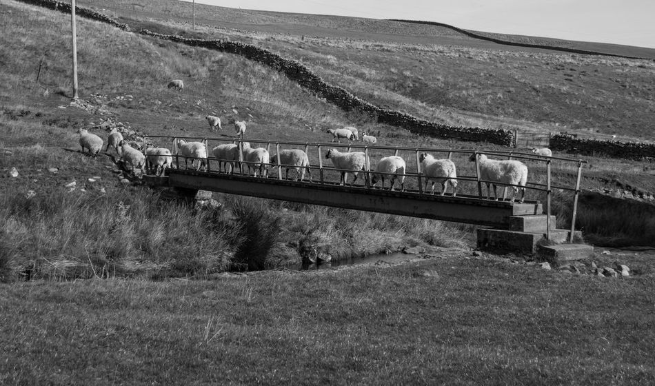 Traffic jam Bridge Livestock In A Queue Bnw_collection Bnw Black & White Black And White Blackandwhite Sheep Nature Photography Eye4photography  EyeEm Best Shots EyeEm Gallery Landscape_photography Nature_perfection Countryside Nature On Your Doorstep Hikingadventures Nikonphotography Teesdale Train Nature Rail Transportation Landscape Built Structure Environment
