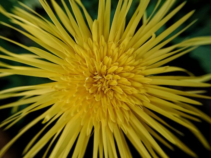 Daisy Flower Daisy Yellow Flower Yellow Flower Head Flower Concentric Yellow Backgrounds Full Frame Petal Stamen Close-up Plant Pollen In Bloom Pistil