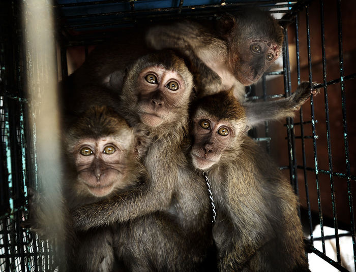 Portrait Of Caged Monkeys