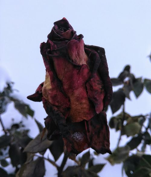 Frozen In Time Nature Fragility Close-up No People Winter Snow Focus On Foreground Cold Temperature Rosé Dead Rose