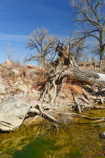 Uprooted and fallen into river not running full amount of water Bare Tree Beauty In Nature Branch Day Dead Tree Nature Outdoors Sky South Of Lingle Wyoming Water