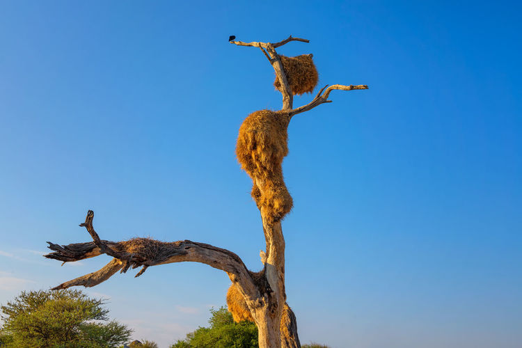 Low angle view of bird on tree against clear blue sky