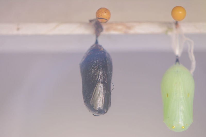 Close-up of cocoons hanging from ceiling