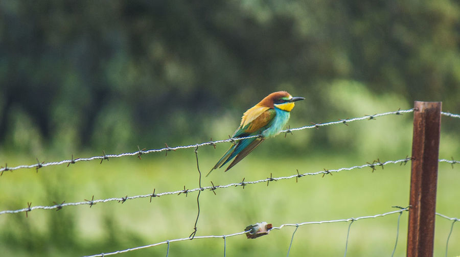 European bee eater perching on barber wire fence