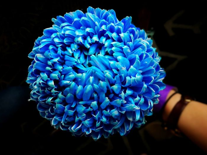 Close-Up Of Person Holding Blue Flowers Over Black Background