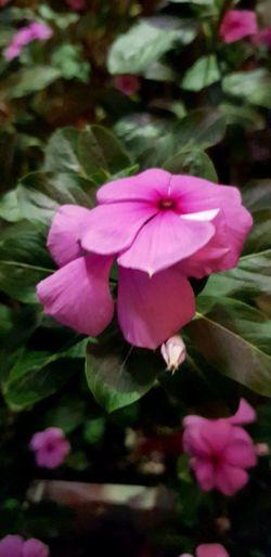 Periwinkle Flower Head Flower Pink Color Petal Close-up Blooming Plant
