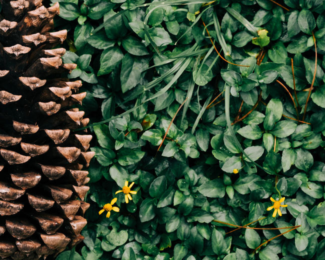 High angle view of pine cone on bed of various green leaves