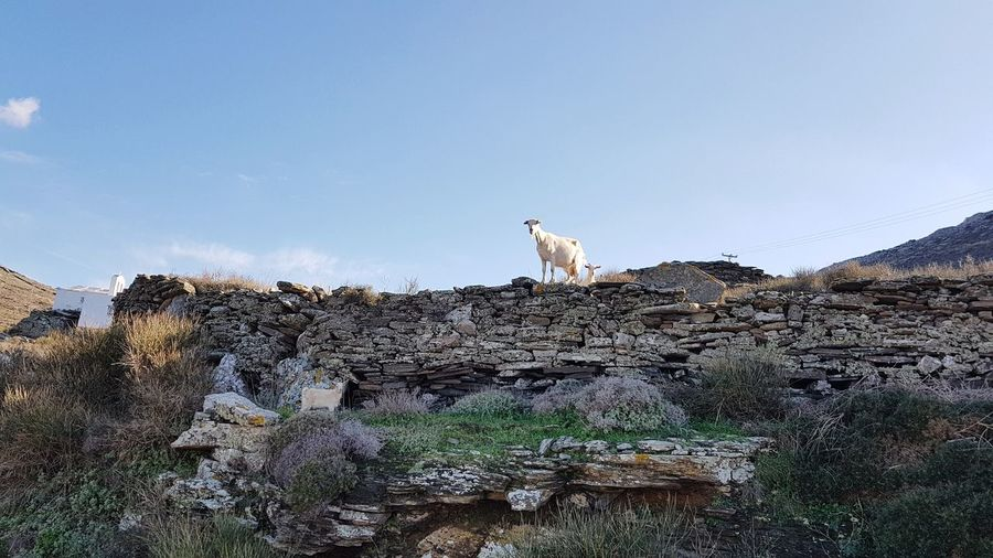 Goat family on the walls Lichen Grass Area Grassy Mediterranean  Greek Islands Blue Sky No People Wall Outdoors Countryside Goat Family Sky Rock - Object Kid Goat