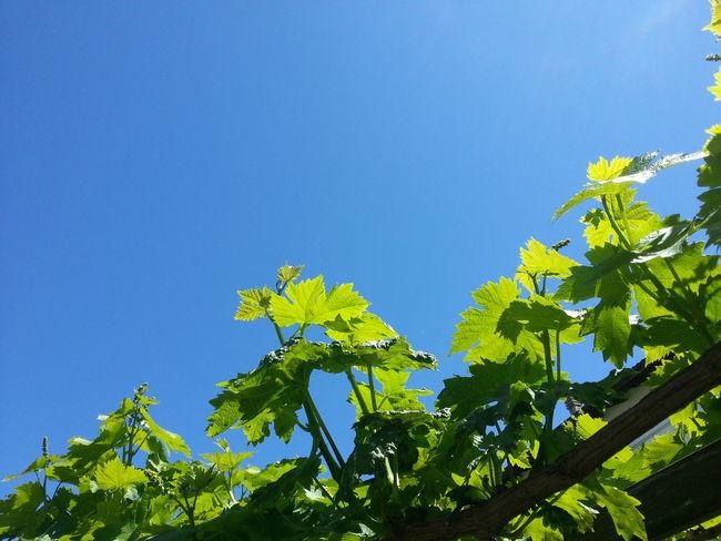 Vite al Sole / Grapevine in the Sun