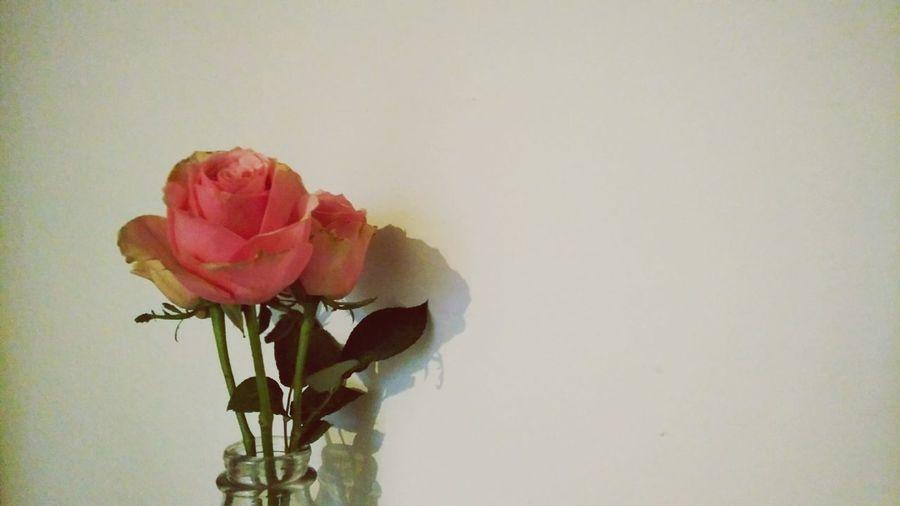 Sad Rosé. · Hamburg Germany 040 Hh Roses Roses🌹 Flowers Plants Vase Bottle Wallpaper White Wallpaper Still Life Indoors