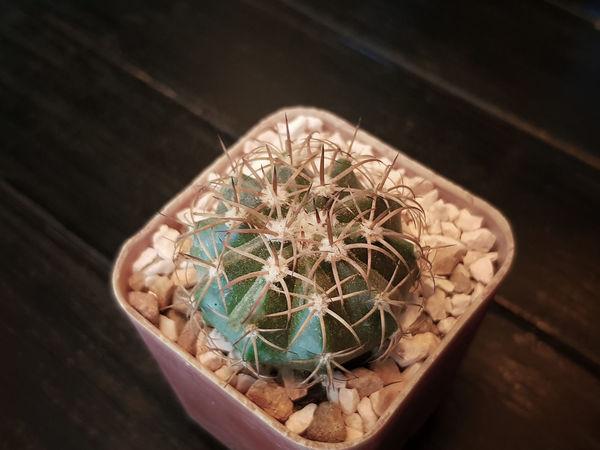 Flower Pot Mini Cactus Cactus Tree Close-up Decorative Cactus Freshness Houseplant Mini Potted Potted Plant