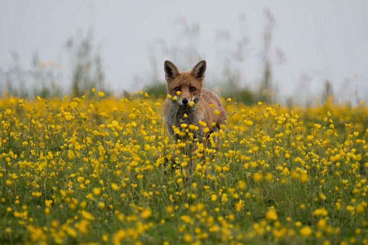 Portrait of a fox at flower field