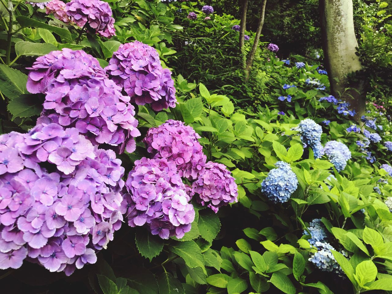 growth, flower, nature, beauty in nature, plant, purple, freshness, fragility, day, outdoors, hydrangea, no people, leaf, close-up, flower head