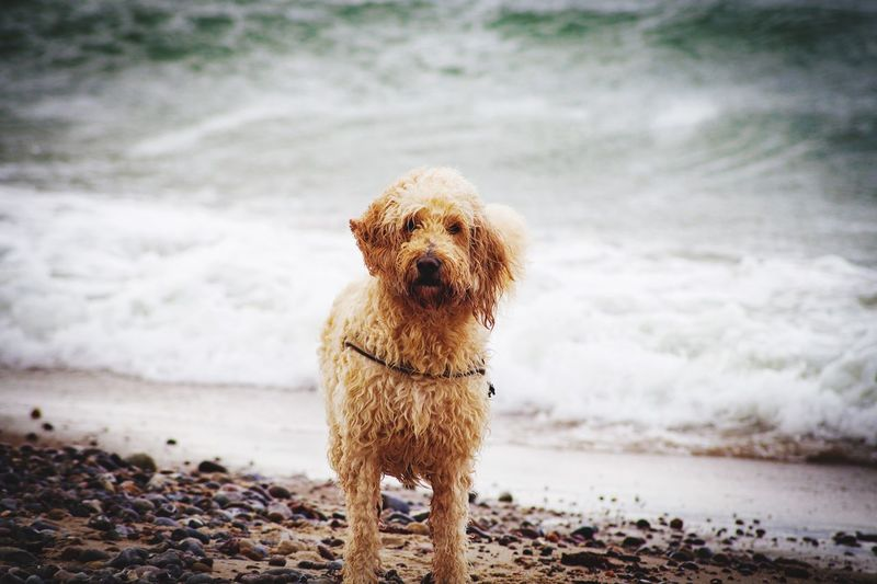 Portrait of dog standing on beach