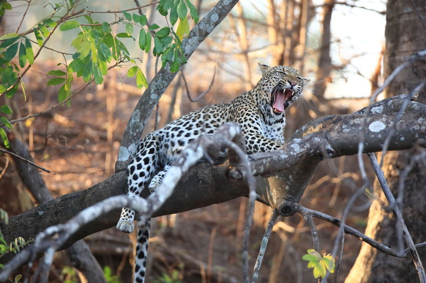 Kafue NP Africa Agressive. Animal Head  Animal Markings Animal Themes Animals In The Wild Branch Close-up Eyem Best Shots Eyem Nature Lovers  Lazy Cat Leopard Mammal Natural Pattern Snarling Wilderness Wildlife The Great Outdoors - 2016 EyeEm Awards