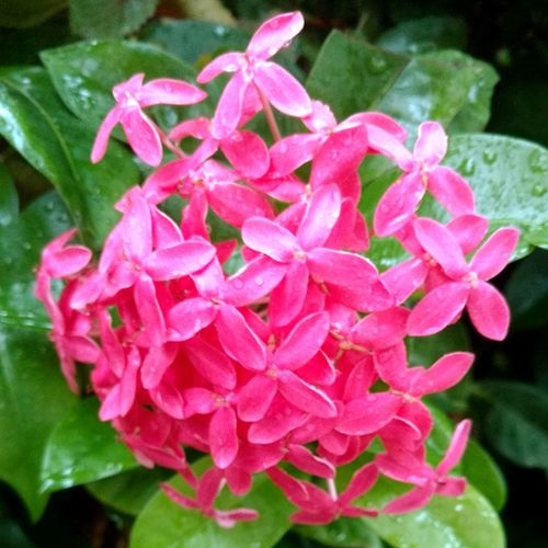 Florecillas Flower Fragility Freshness Petal Pink Color Beauty In Nature Nature Plant Pink Flower Pot Botany Flowers :) Peace ✌ No People Flower Photography Nature Plant Flowers Beauty In Nature