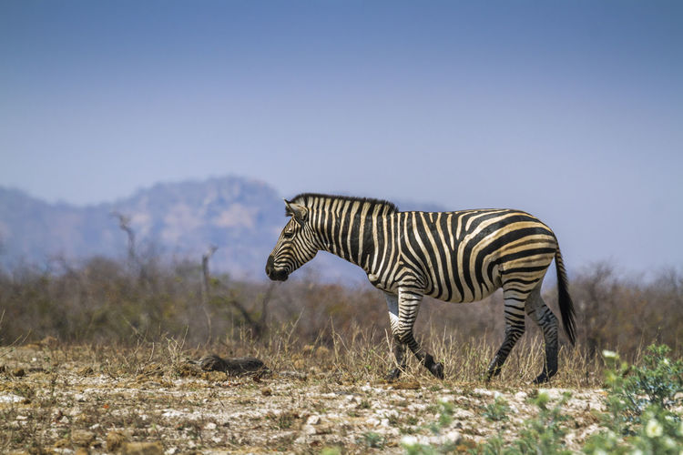 Zebra walking on land against clear sky