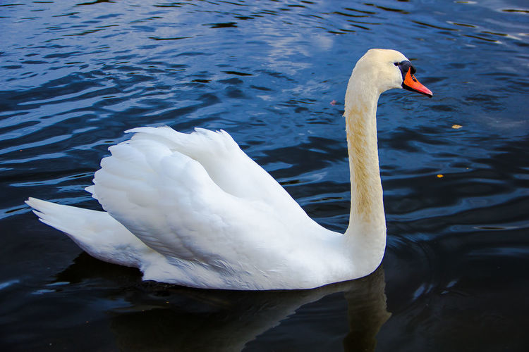 Swan on The Serpentine, Hyde Park, London, United Kingdom Animal Themes Animals In The Wild Autumn Beak Bird Close-up Day Floating On Water Hyde Park Lake LDN London London Lifestyle LONDON❤ Mute Swan Nature No People One Animal Outdoors Serpentine Swan Swimming Water Water Bird White Color