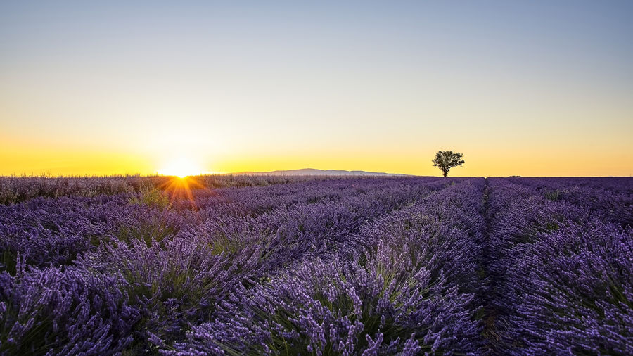 Scenic view of lavender on field against sky during sunset