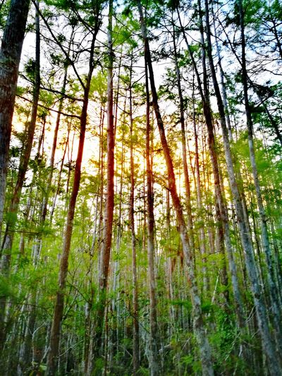 Swamp Forest Nature Tree Beauty In Nature Growth Bamboo - Plant Low Angle View Green Color Outdoors No People WoodLand Day Tranquility Tree Trunk Wilderness Area Tree Area