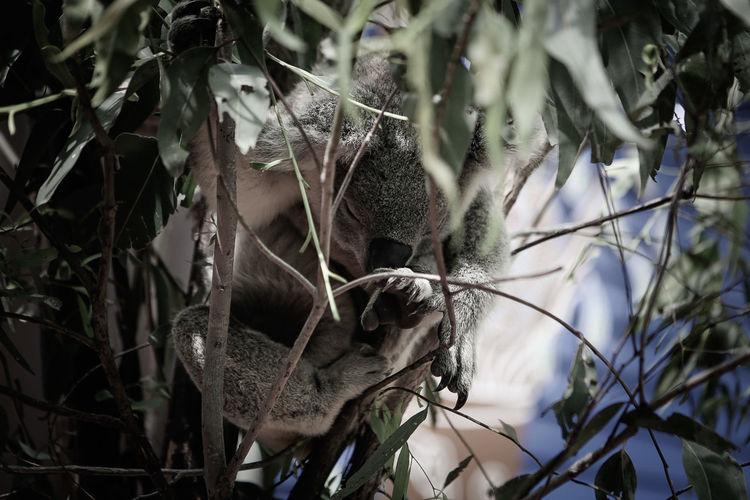 Eucalyptus... again