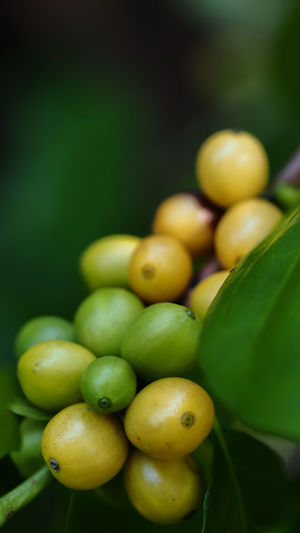 Coffee beans ripening on coffee tree branch, selective focus for business nature concepts backgrounds Organic Food Organic Coffee Beans Roaster Coffee Bean Coffee Nature Leaf Plant Part Vegetable Growth Day Yellow Still Life Indoors  Focus On Foreground Selective Focus No People Close-up Wellbeing Freshness Food Fruit Food And Drink Green Color Healthy Eating Indoors  Plant