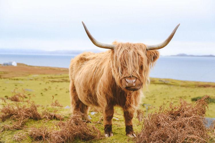 Highland cattle scotland landscape