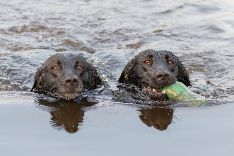 Head shot of two black labradors swimming in the water while retrieving a training dummy