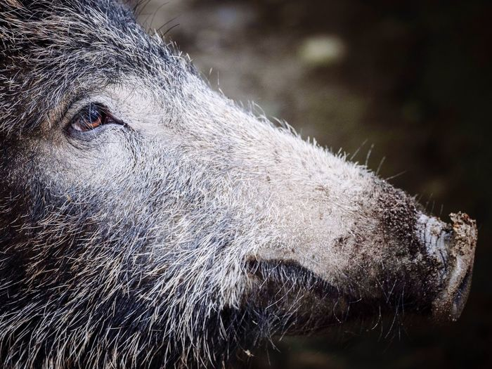 Close-up of wild boar