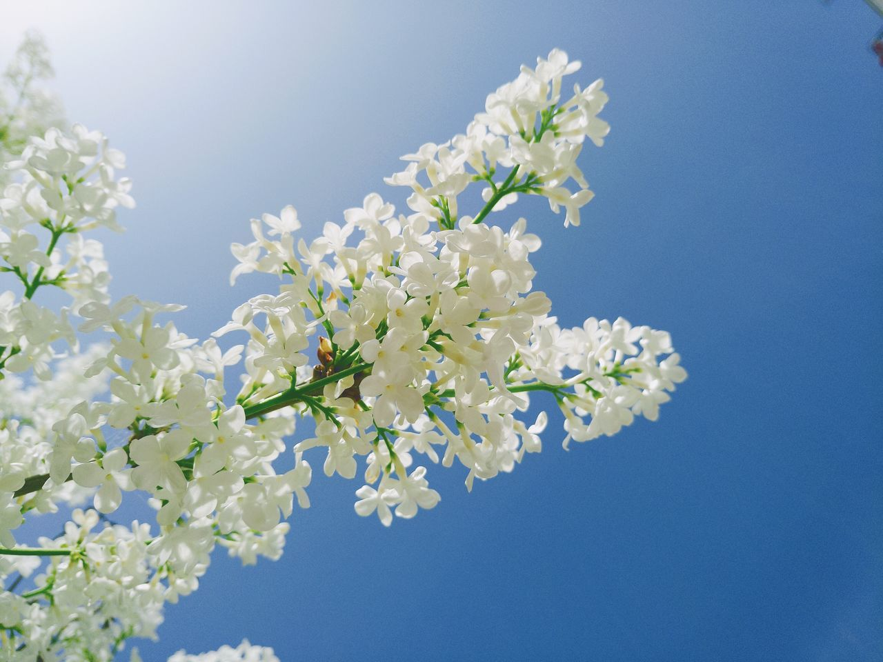 flower, fragility, beauty in nature, nature, white color, growth, freshness, blossom, tree, springtime, apple blossom, petal, clear sky, apple tree, branch, no people, low angle view, blooming, spring, day, blue, close-up, flower head, outdoors, sky