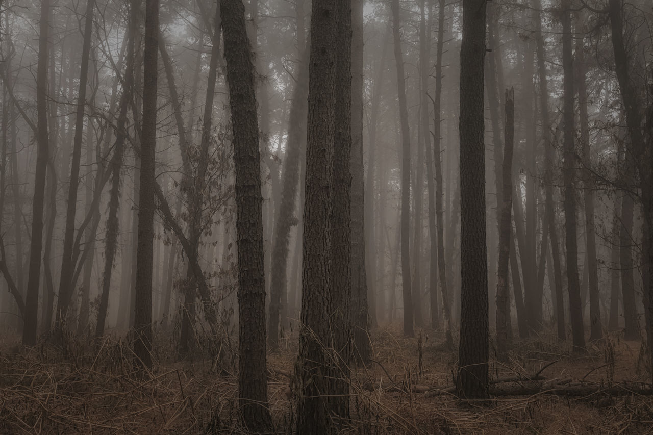 forest, nature, tree trunk, tree, tranquility, landscape, tranquil scene, hazy, no people, beauty in nature, scenics, fog, outdoors, day
