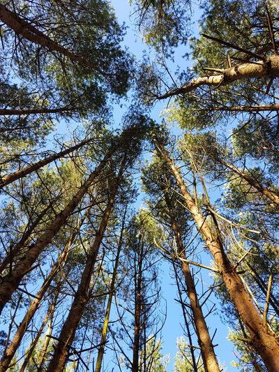 Beauty In Nature Blue Branch Clear Sky Day Forest Growth Low Angle View Nature No People Outdoors Scenics Sky Tranquility Tree Tree Trunk