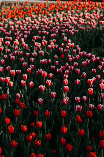 red tulips Flower Flowering Plant Red Plant Freshness Fragility Beauty In Nature Vulnerability  Growth Flower Head Tulip No People Inflorescence Nature Close-up Land Petal Day Field Abundance Flowerbed Outdoors Springtime